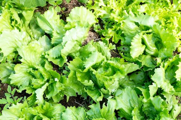 Orto con piantagione di lattuga.