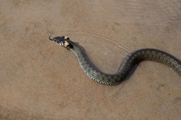 Non un serpente velenoso verde scuro (biscia dal collare), con macchie gialle sulla testa, nuota sull'acqua trasparente