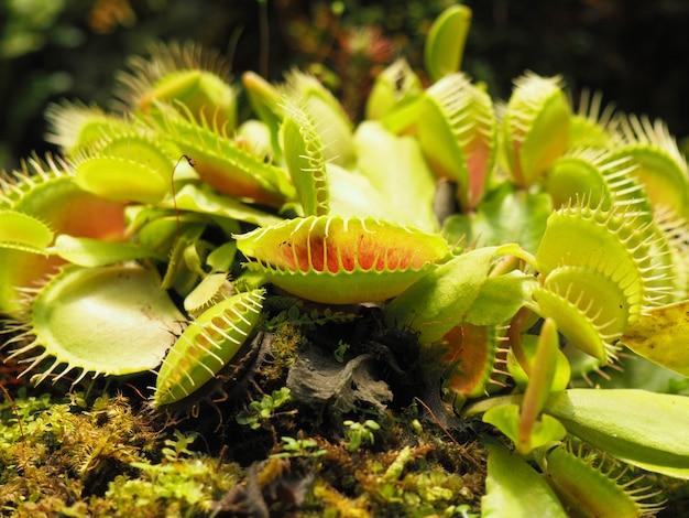 Venus flytrap vicino Foto Premium