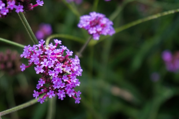 Verbena cespuglio, verbena hybrida fiore su sfondo sfocato.