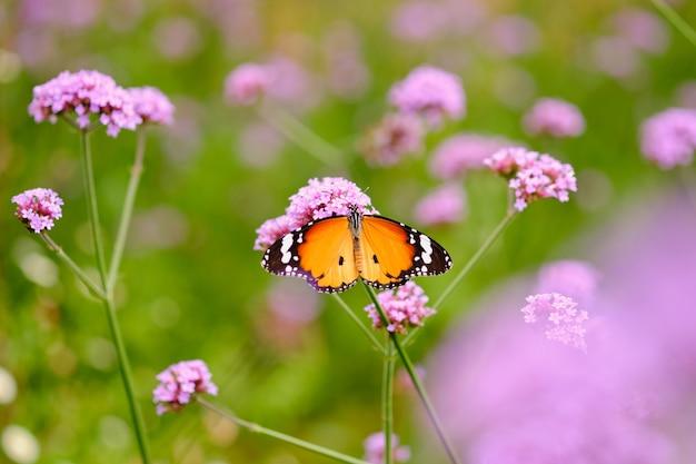 Il colore viola della verbena e lo spazio della copia, tenuta della farfalla sul fiore