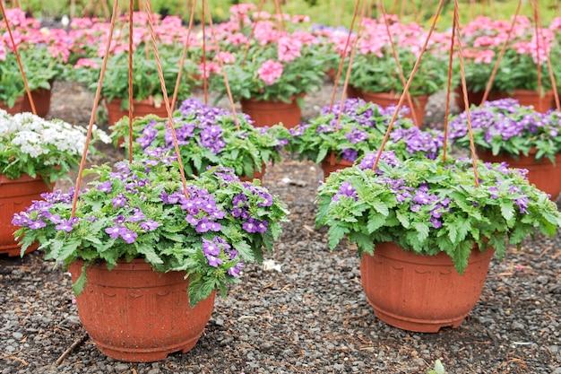 Fiori di verbena che crescono in vasi nel vivaio del negozio di giardino all'aperto