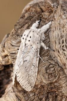 Chiusura verticale di una cerura erminea su una corteccia di albero sotto la luce del sole
