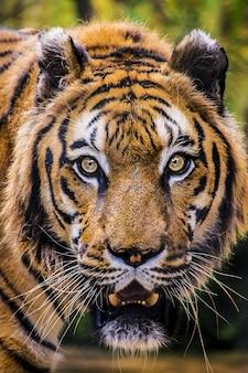 Colpo verticale del primo piano di una tigre minacciosa