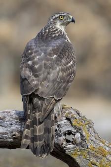 Colpo verticale del primo piano di un falco affilato su uno sfondo sfocato