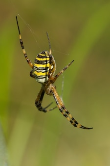 Macro verticale di un ragno tigre che aspetta la sua preda nella sua ragnatela