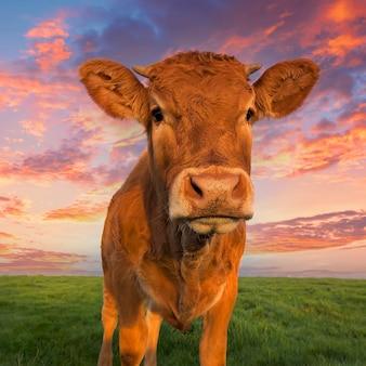 Ritratto verticale di mucca marrone in normandia, francia.