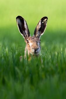 Ritratto verticale di lepre marrone selvatica, lepus europaeus, guardando con orecchie allertate su un prato verde in primavera. unico mammifero con lunghe orecchie nel deserto.