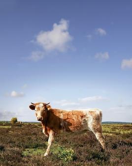 Colpo verticale di un caw in posa in una limpida giornata estiva nel campo