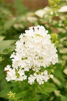 Colpo verticale di fiori di phlox