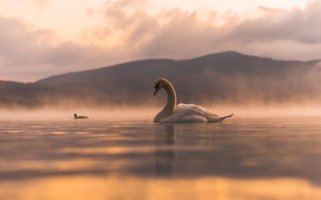 Cigno bianco molto bello sul lago yamanaka con il monte. sfondo fuji, luogo famoso e tranquillo
