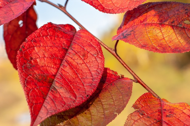 Foglie rosse molto colorate su sfondo giallo autunno al sole