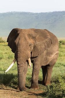 Un elefante molto grande e vecchio con una zanna rotta. ngorongoro, tanzania