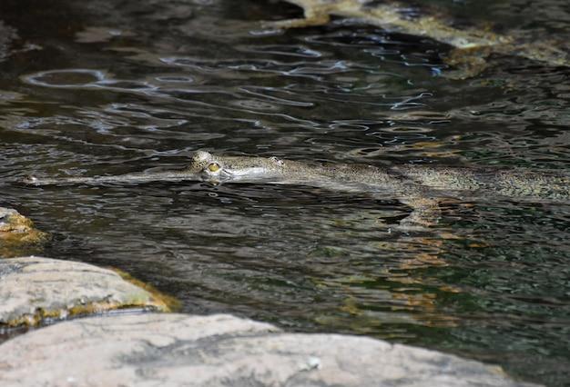 Muso molto lungo sulla faccia di un coccodrillo nel fiume