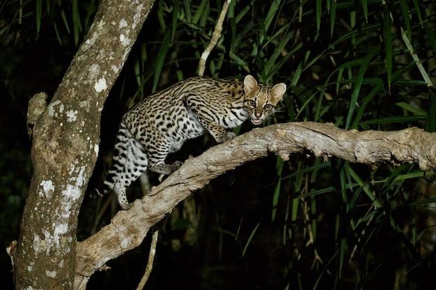 Ocelot molto raro nella notte della giungla brasiliana