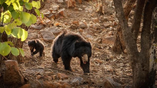 Orso bradipo molto raro e timido alla ricerca di termiti