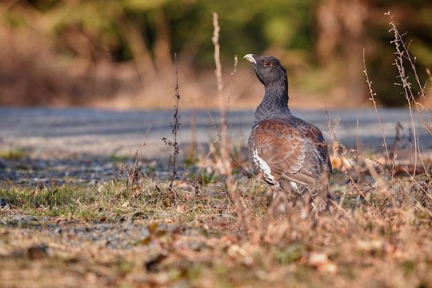 Gallo cedrone selvatico molto raro nell'habitat naturale