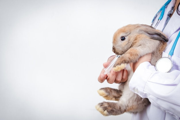 Il veterinario portava il piccolo coniglio marrone per un controllo ogni mese. concetto di animali domestici, prevenzione dei germi per l'uomo. copia spazio