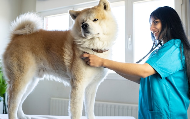 Il veterinario accompagna un grosso cane in ufficio con lo stetoscopio