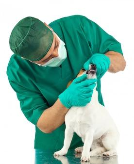 Veterinario che esamina un jack russell