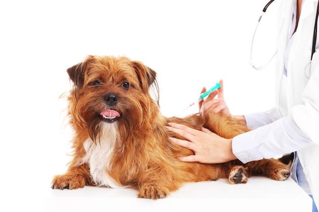 Un veterinario che inietta un cane su sfondo bianco