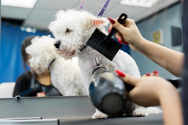 Il veterinario asciuga con il phon un capello bichon frise in una clinica veterinaria, primo piano. bichon frise fa il taglio di capelli e la toelettatura nel salone di bellezza per cani
