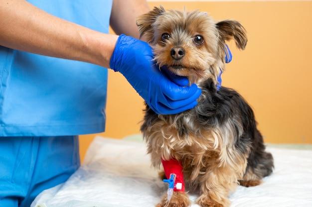 Veterinario che si prende cura di un yorkshire terrier con una flebo endovenosa, all'ospedale per animali.
