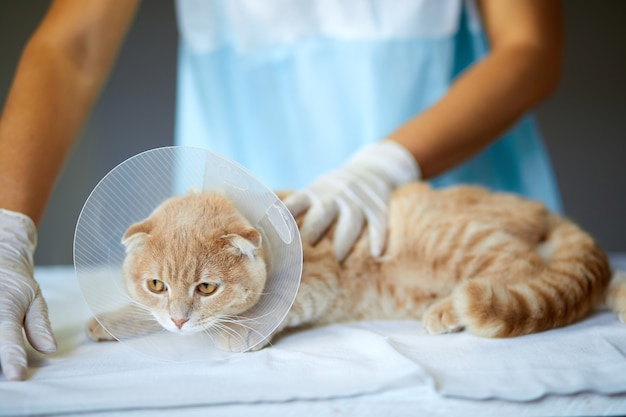 Il medico veterinario sta facendo un controllo di un bellissimo gatto carino con collare a cono di plastica dopo la castrazione, concetto veterinario.