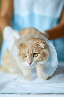 Il medico veterinario sta facendo un controllo di un bel gatto carino con collare a cono di plastica dopo la castrazione, concetto veterinario.