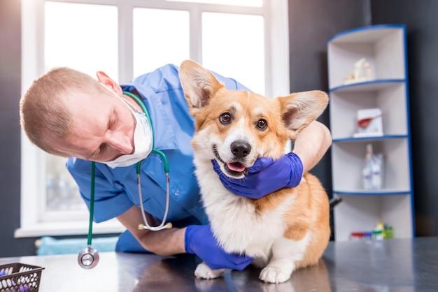 Il veterinario esamina le zampe di un cane corgi malato