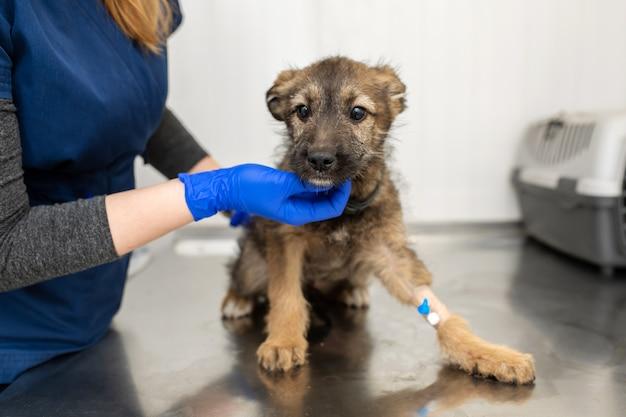 Veterinario esamina sul tavolo in clinica veterinaria piccolo cucciolo di razza senzatetto con catetere zampa