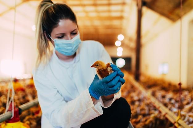 Veterinario che esamina un pollo in un allevamento di polli.