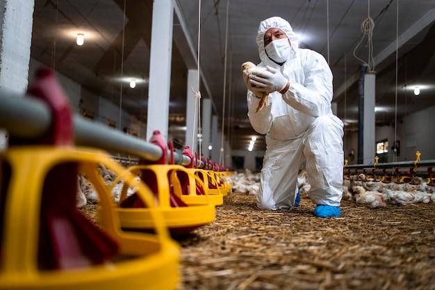 Veterinario che tiene pollo in un allevamento di pollame e controlla la salute degli animali domestici.