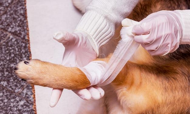 Un veterinario impone a un cane di fasciare una zampa ferita