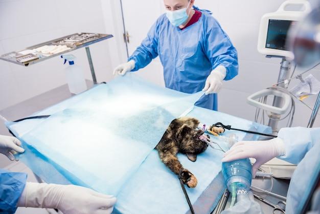 Chirurghi veterinari in sala operatoria durante la sterilizzazione del gatto