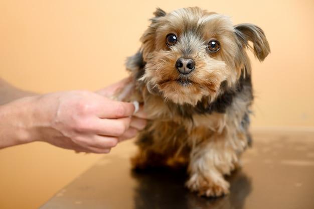 Veterinario che prende il campione di sangue ed esamina un cane in clinica