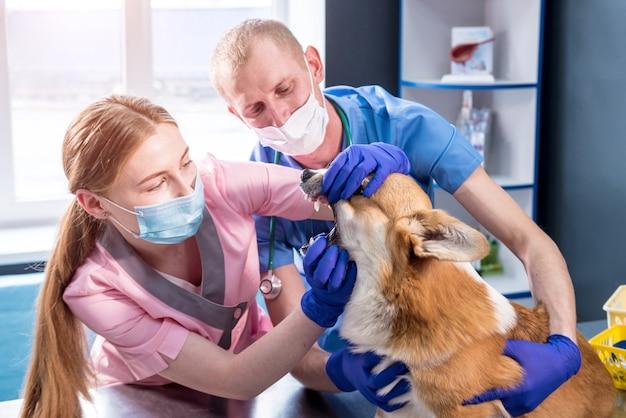 Squadra veterinaria che esamina i denti e la bocca di un cane corgi malato