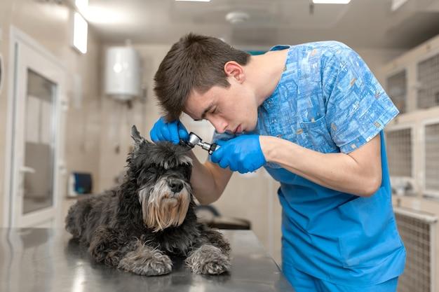 Il tecnico veterinario controlla le orecchie del paziente. controllo dell'orecchio del cane nella clinica veterinaria