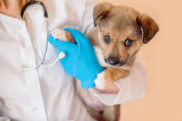 Veterinario con lo stetoscopio che tiene il cucciolo nelle sue mani durante l'esame nella clinica veterinaria