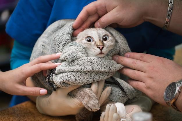 Veterinario posizionando un catetere attraverso un gatto in clinica
