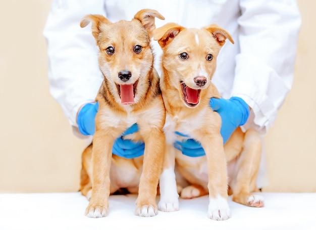 Test veterinari per cani, prepara i tuoi cani per l'appuntamento veterinario.