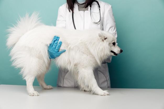 Veterinario in uniforme controlla il cane bianco sul tavolo in clinica veterinaria su sfondo blu.