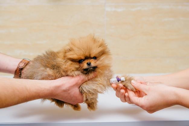 Veterinari che fanno l'iniezione con la medicina attraverso il catetere per l'animale domestico malato