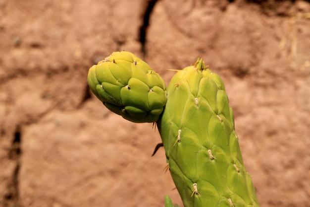 Cactus verde vibrante alla luce del sole con parete di argilla adobe sfocata sullo sfondo deserto di atacama in cile