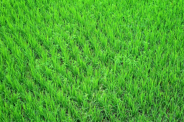 Piante di riso immaturi verdi vibranti che crescono nella risaia
