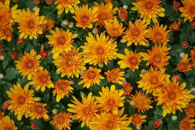 Priorità bassa floreale dei fiori del crisantemo arancione vibrante