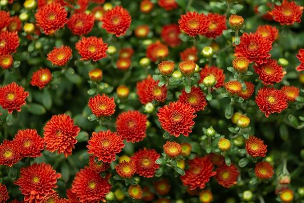 Priorità bassa floreale dei fiori del crisantemo rosso vibrante
