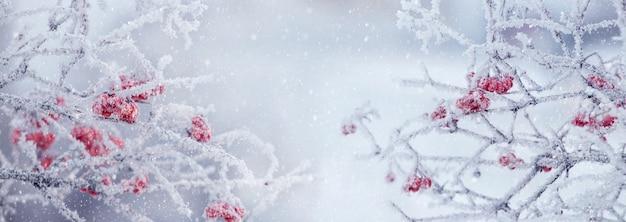Cespuglio di viburno con bacche rosse e rami coperti di brina, panorama. sfondo di natale invernale