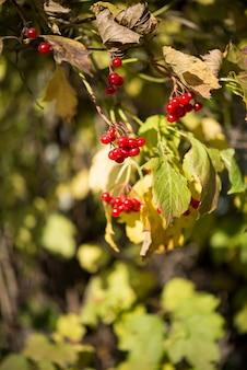 I frutti di viburno appendono su un albero un giorno soleggiato di autunno, fuoco selettivo