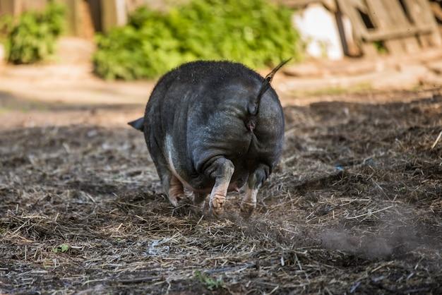Il maiale vietnamita panciuto pascola nel cortile. indietro